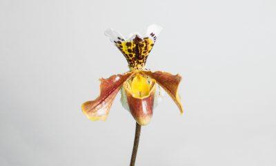 Floom Fotw Slipper Orchid Ls