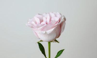 Floom English Garden Rose Ls