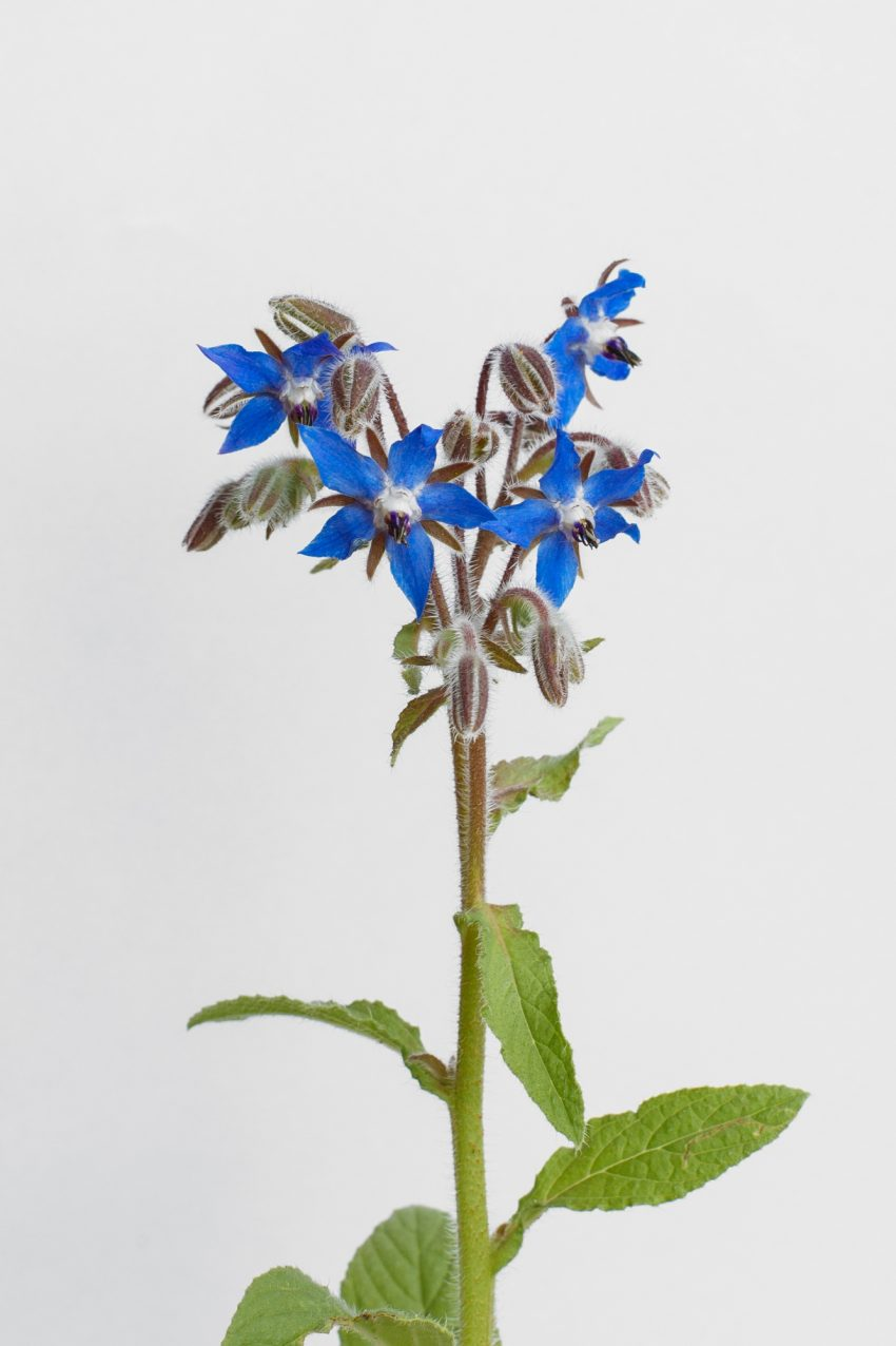 1 Floom Flower Of The Week Borage Pt