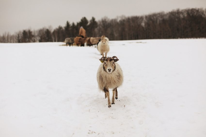 1 Floom Magazine Sarah Ryhanen Saipua Farm New York Sheep In Snow 2