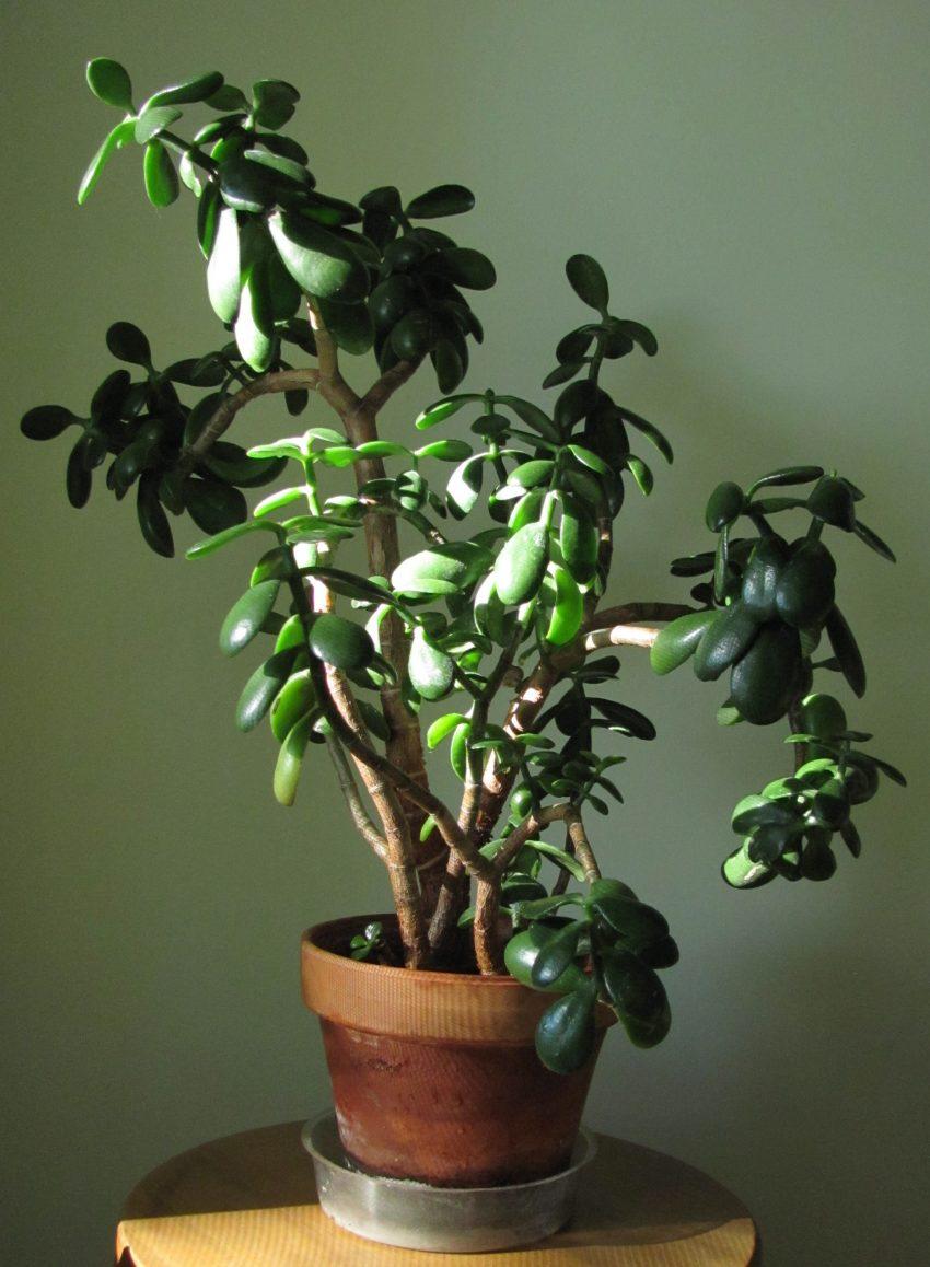 1 Floom Magazine 5 Easy Plants Jade Plant 1