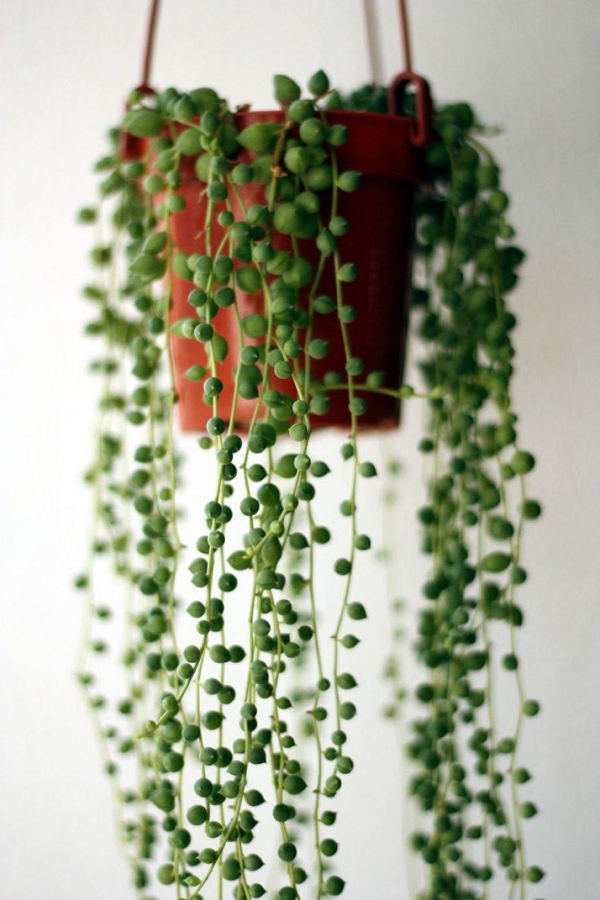 1 Floom Magazine Five Easy Plants String Of Pearls 1