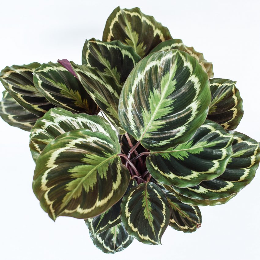 1 Floom Magazine Five Easy To Take Care Of Plants Calathea 1