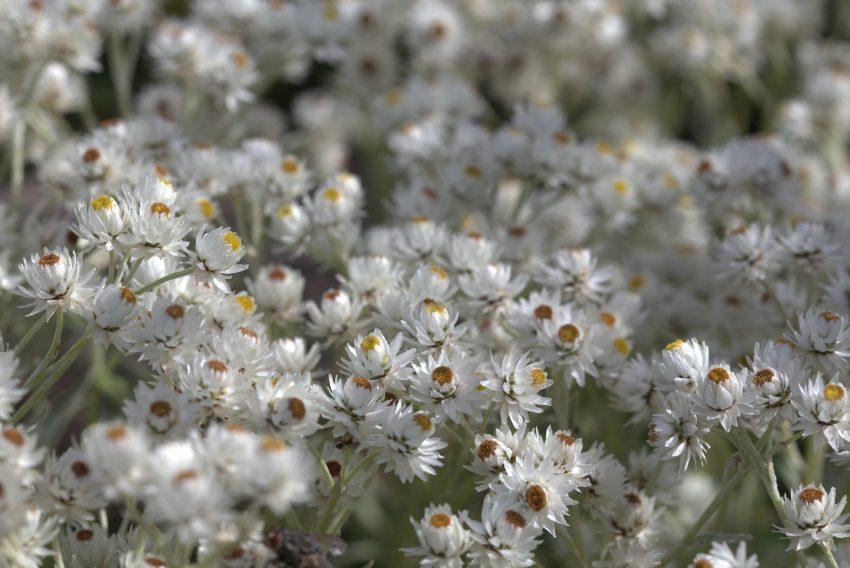 1 Floom Magazine Flora Of Nepal Anaphalis Triplinervis 1