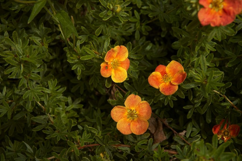 1 Floom Magazine Flora Of Nepal Potentilla Fruticosa Red Ace 1