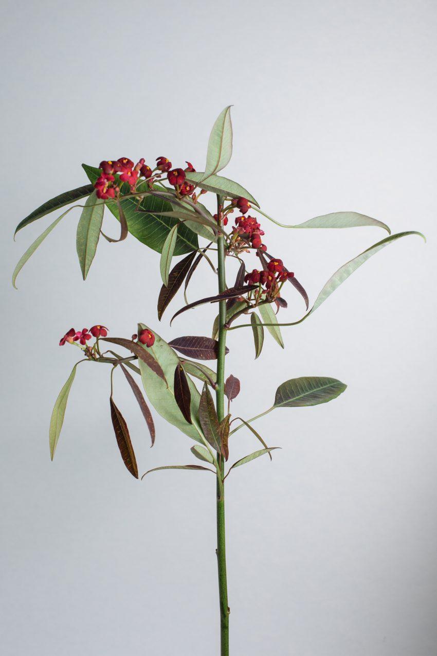 1 Floom Magazine Flower Of The Week Euphorbia 2