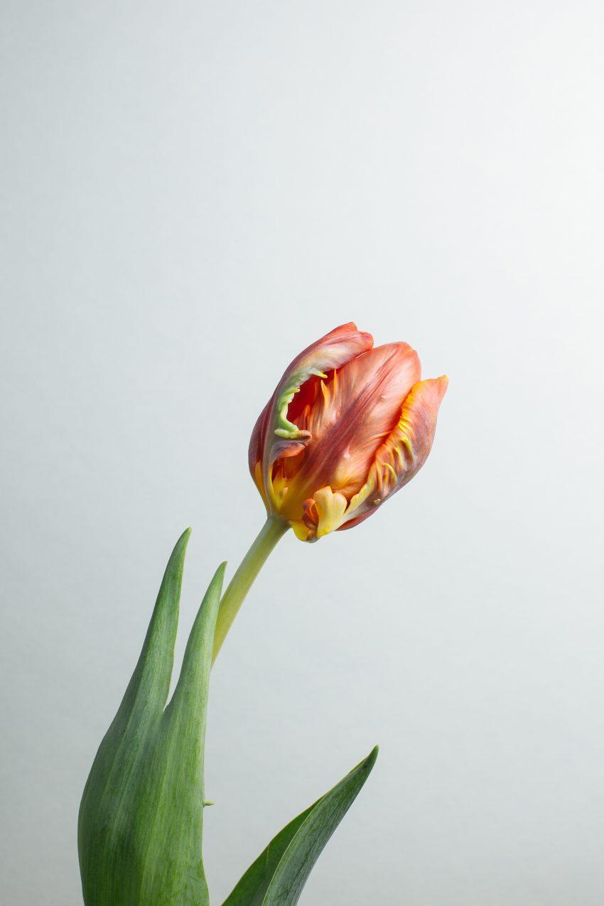 1 Floom Magazine Flower Of The Week Parrot Tulip 2