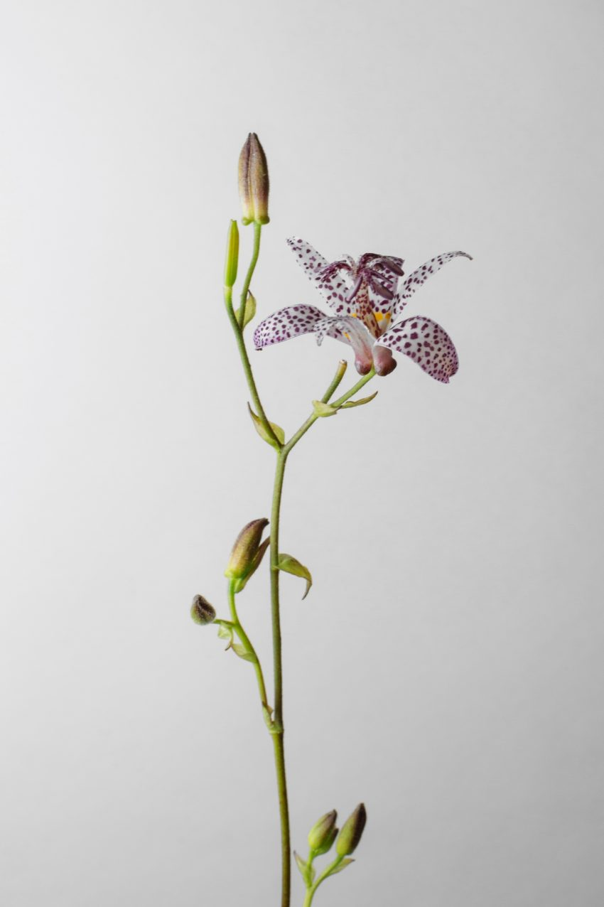 1 Floom Magazine Flower Of The Week Toad Lily 2