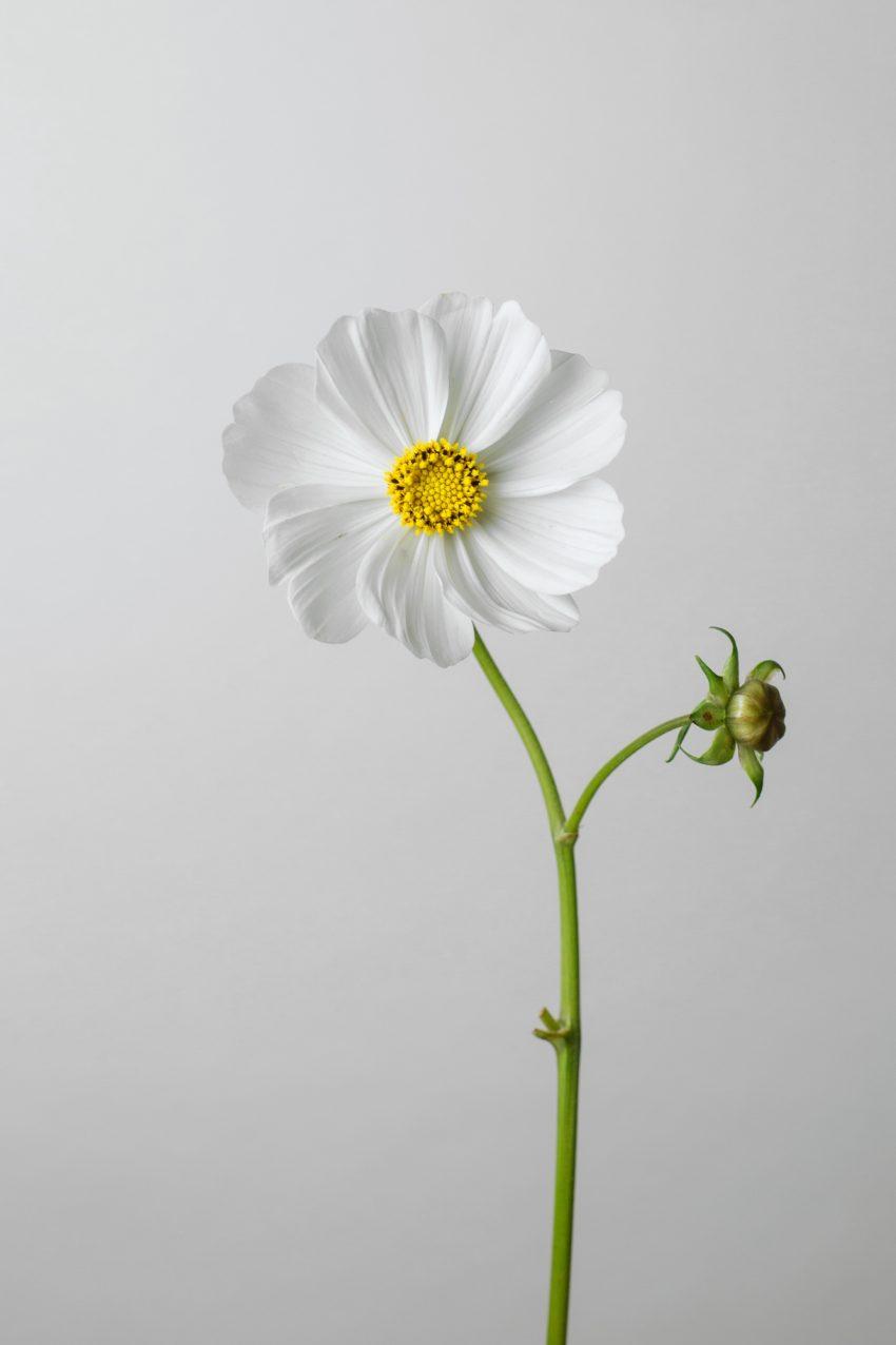 1 Floom Magazine Flower Of The Week White Cosmos 2