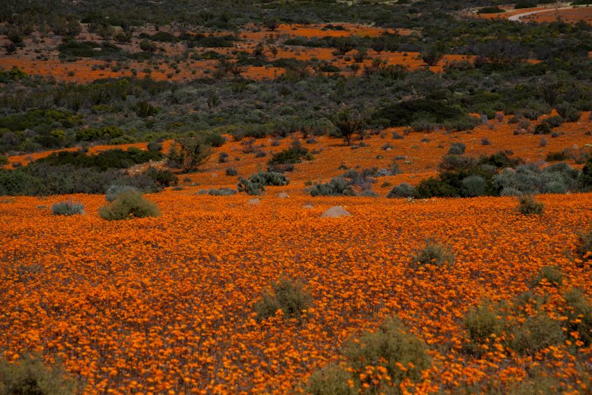 1 Floom Magazine Flowers In Baren Places Namaqualand 1