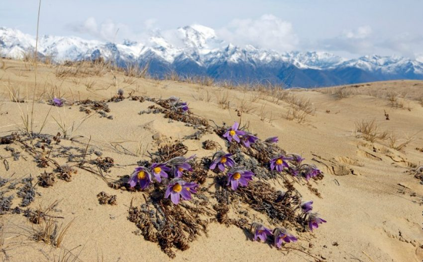 1 Floom Magazine Flowers In Baren Places Siberia Chara Desert Flowers Michael Schneider 1