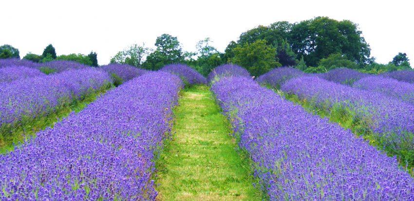1 Floom Magazine Green Spaces Mayfield Lavender Fields Jackie White