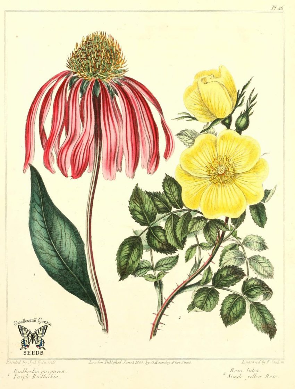 1 Floom Magazine Herbal Help Echinacea Diagram 1