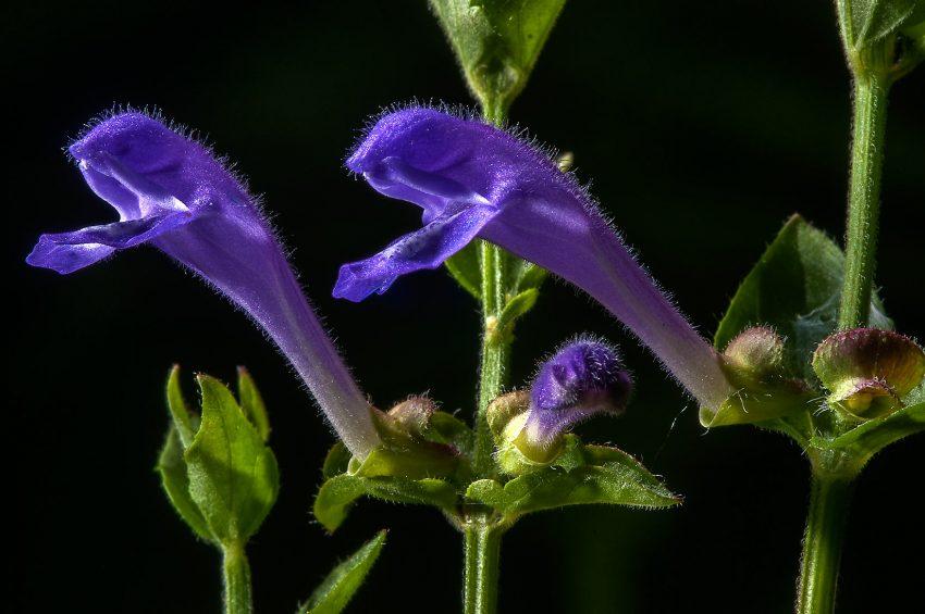 1 Floom Magazine Herbal Help Sleepy Tea Blue Skull Cap Asergeev 2