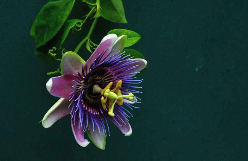 1 Floom Magazine Herbal Help Sleepy Tea Passion Flower Flickr Liz West