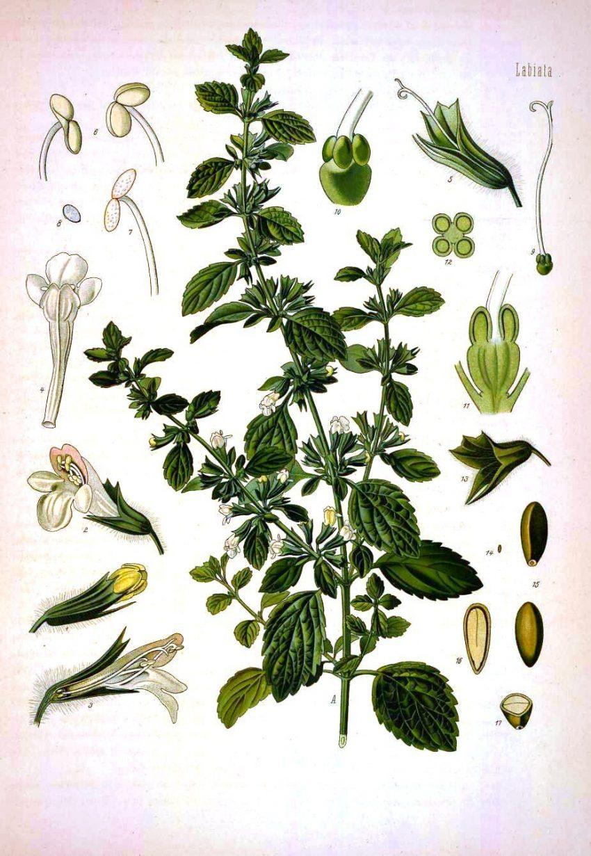 1 Floom Magazine Herbal Helt Sleepy Tea Lemon Balm Melissa Officinalis Aranais 1