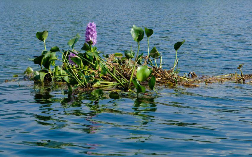 1 Floom Magazine Underwater Plants Water Hyacinth 1
