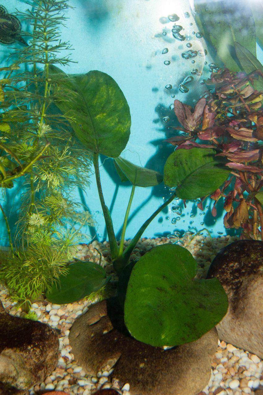 1 Floom Magazine Underwater Plants Anubias Mark Hanford 1