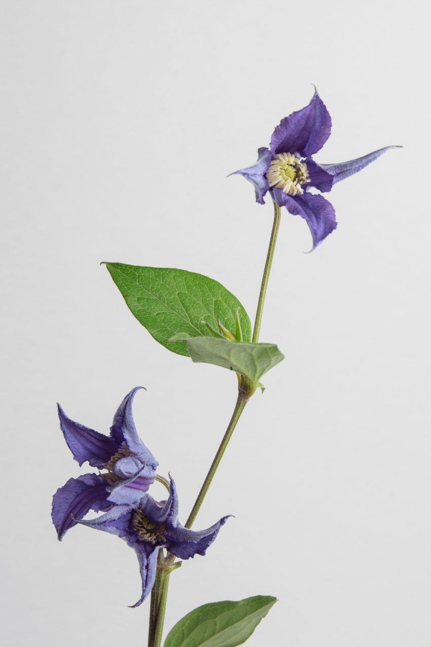 Floom Clematis Pt