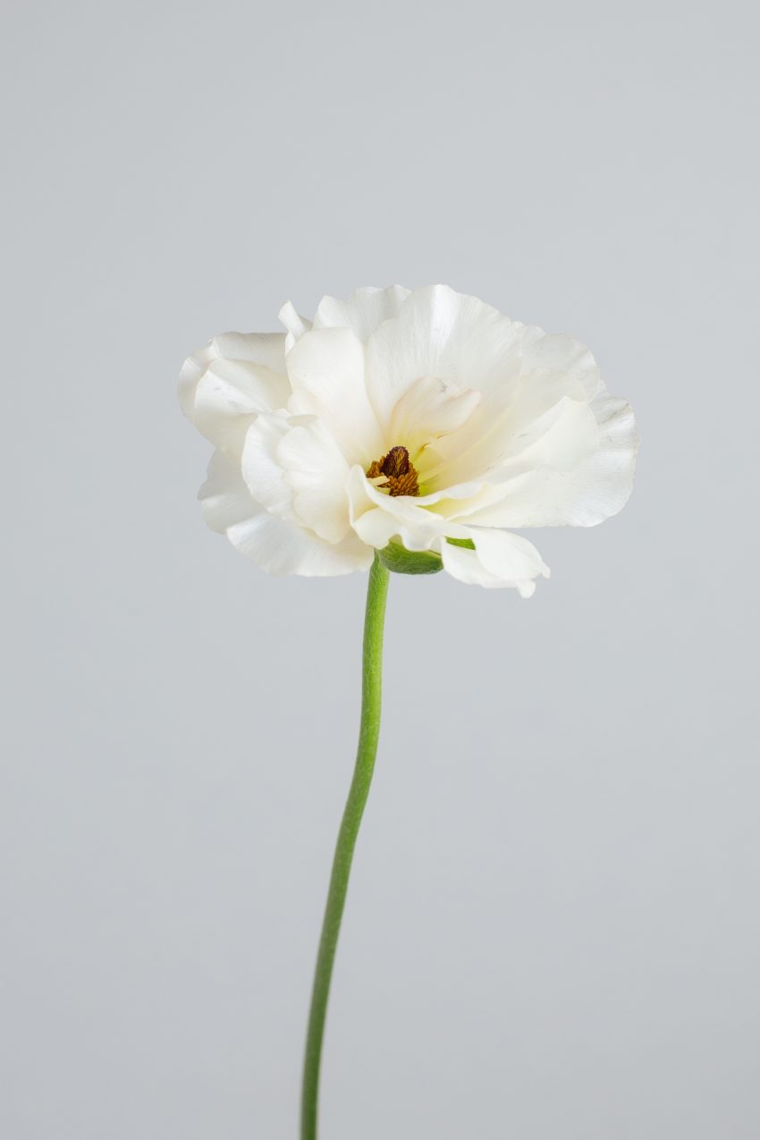 Floom Flower Of The Week Butterfly Ranunculus Pt