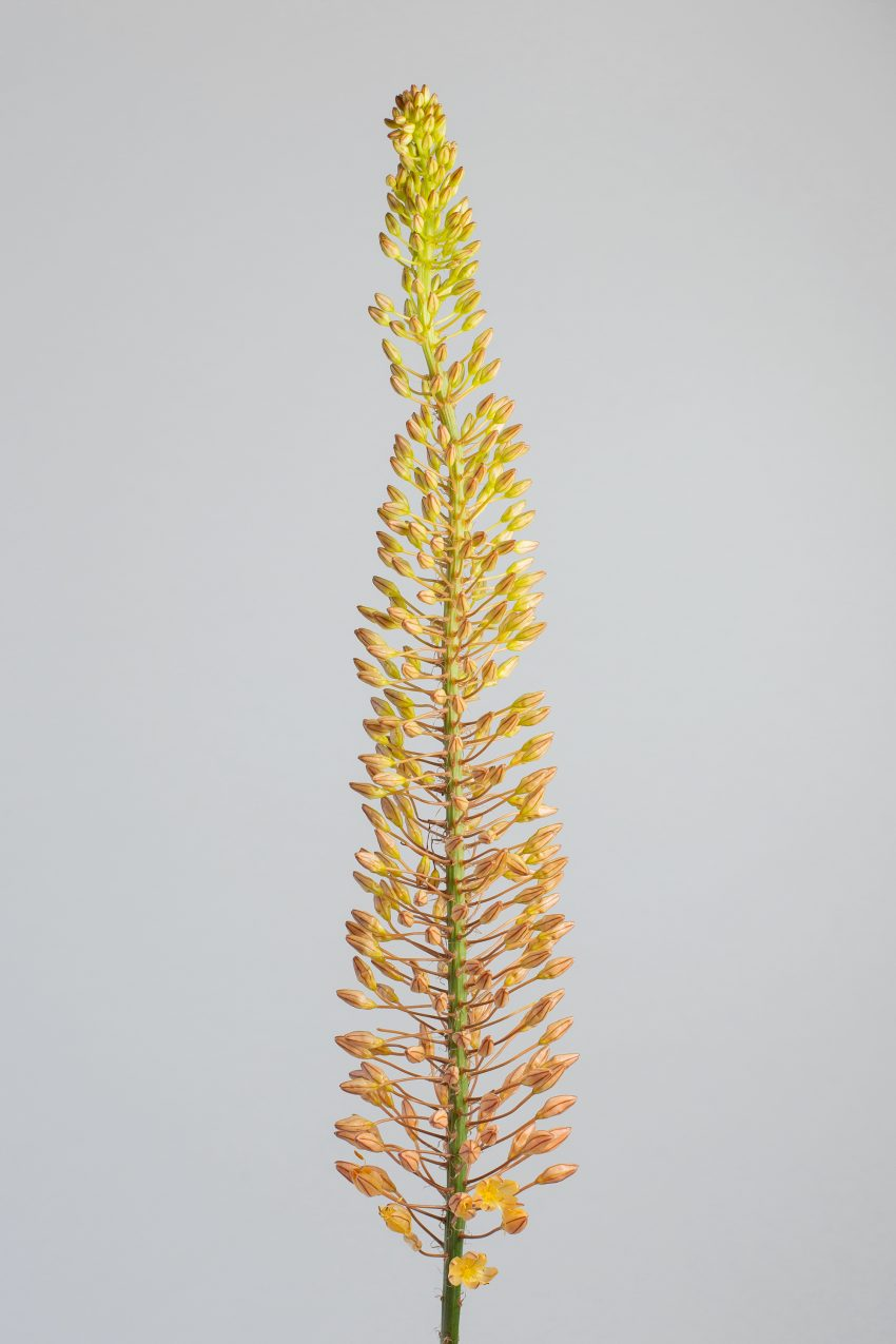 Floom Flower Of The Week Foxtail Lily Pt