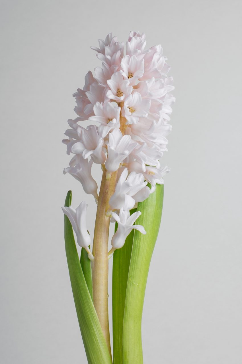 Floom Flower Of The Week Hyacinth Pt