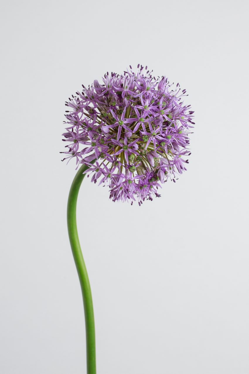 Floom Fotw Allium Pt