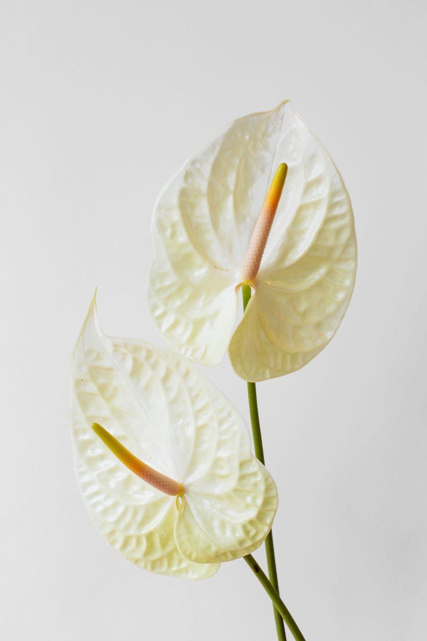 Floom Fotw Anthurium Pt