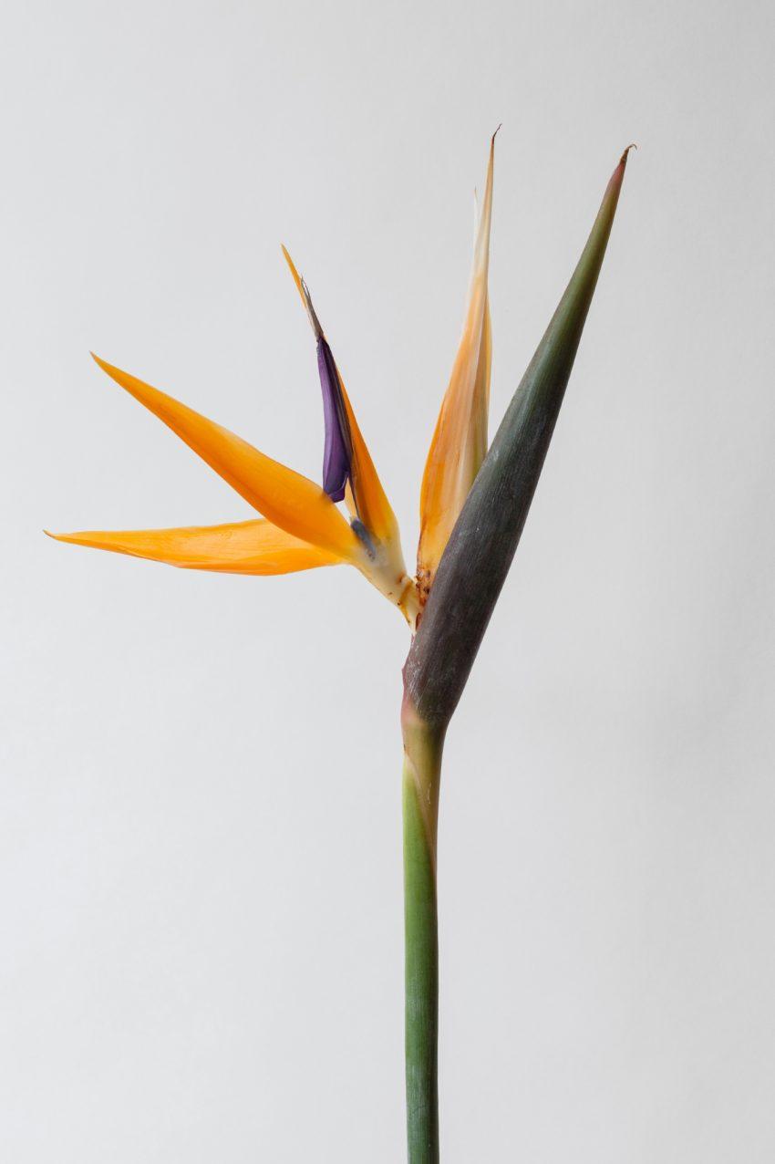 Floom Fotw Bird Of Paradise Pt