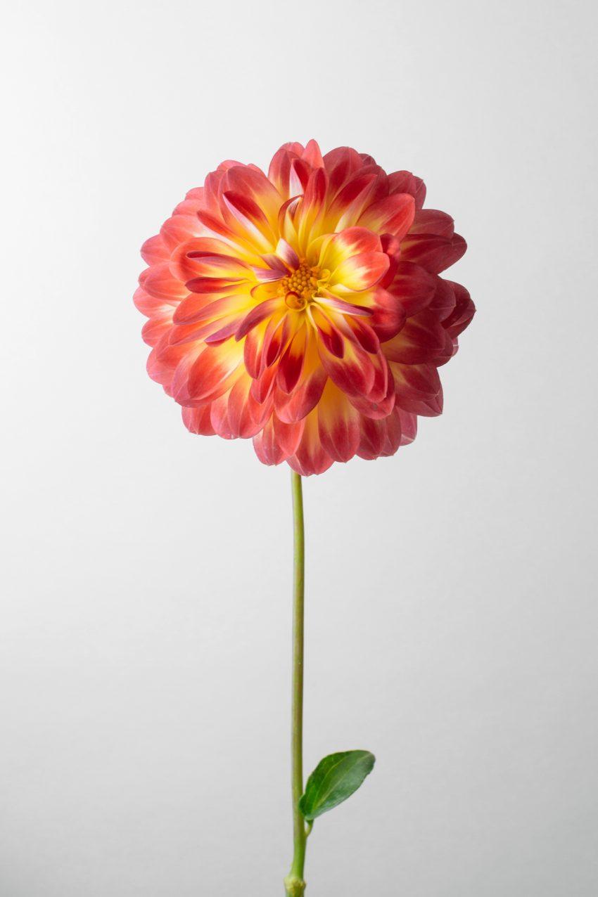 Floom Fotw Dahlia Karma Bon Bini Pt