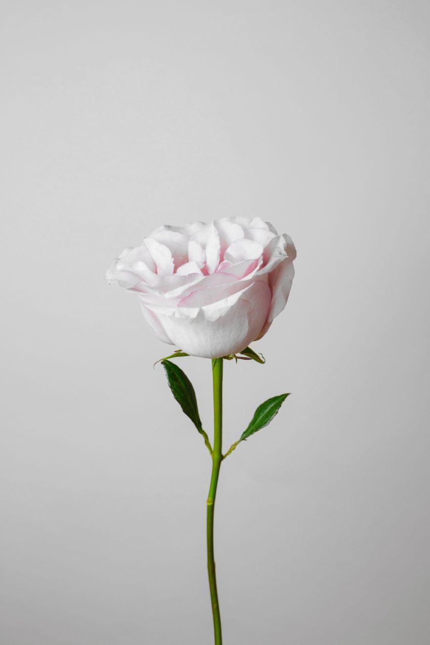Floom English Garden Rose Pt