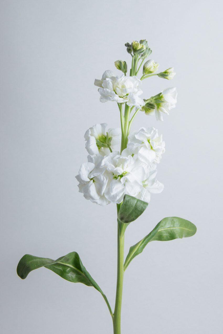Floom Flower Of The Week Stock Pt