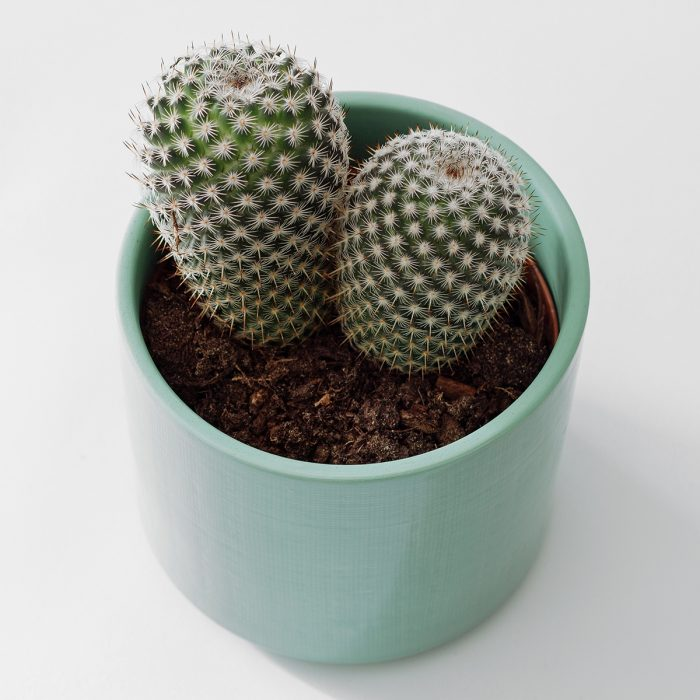 Floom Rose Ammi Cacti 2