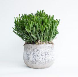 Floom The Fresh Flower Company Plants Crassula Hobbit Pot 1
