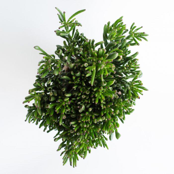 Floom The Fresh Flower Company Plants Crassula Hobbit Pot 2