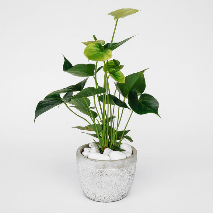 Floom Emfd Anthurium 1