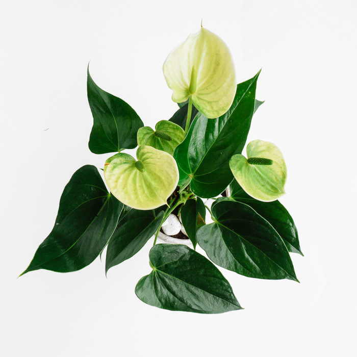 Floom Emfd Anthurium 2