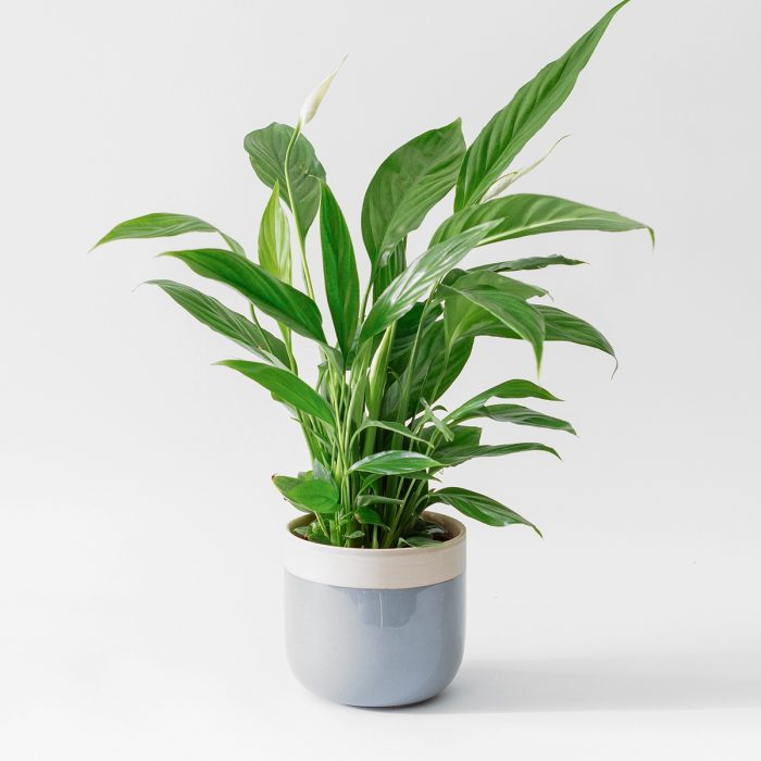 Floom Rose Ammi Peace Lily 1