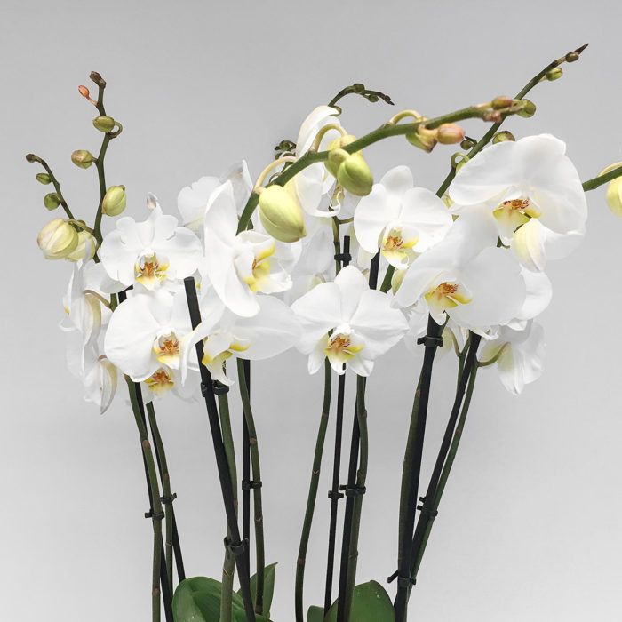 Floom Vendure Flowers Vanda Orchid 2