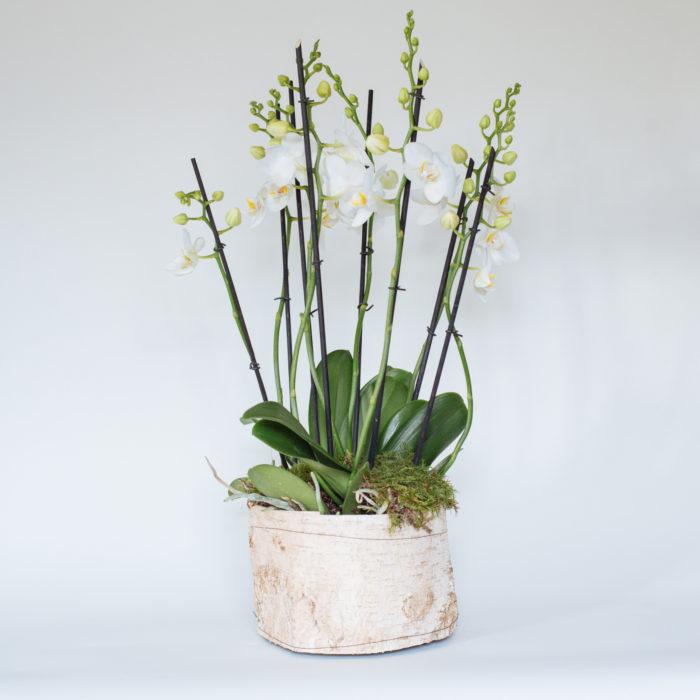 Floom Rose Mary Medium Orchid 1