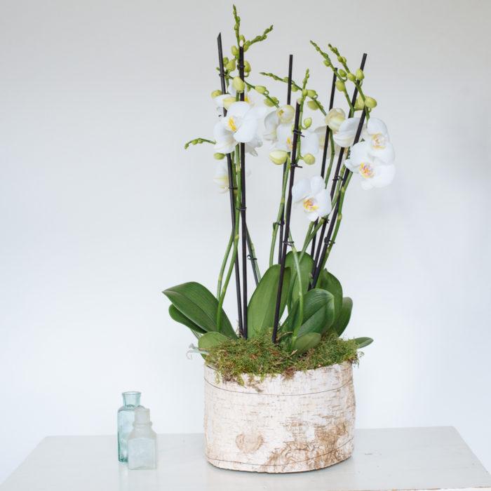 Floom Rose Mary Medium Orchid 2