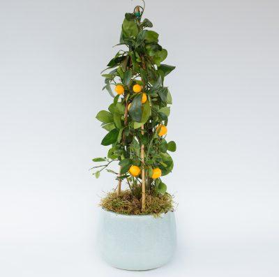 Floom Fresh Flower Co Citrus Plant 1