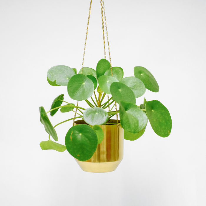 Floom Orchidya Money Plant Hanging 1