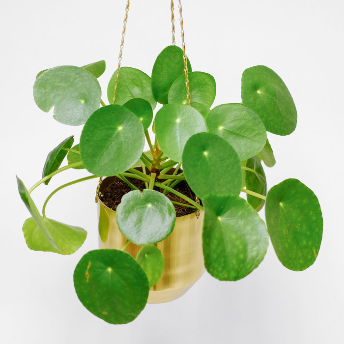 Floom Orchidya Money Plant Hanging 2