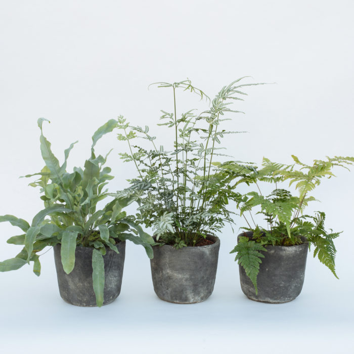 Floom Fresh Flower Co Trio Of Ferns 1
