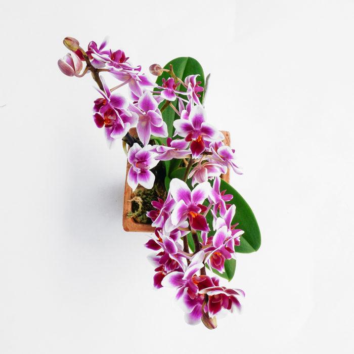 Floom Emfd Orchid 2