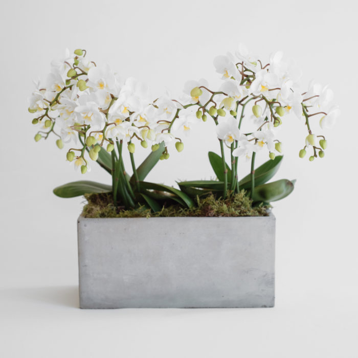 Floom Mad Lilies Potted Orchid Square 1