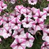 Supertunia Pink Star