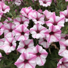 Supertunia Pink Star