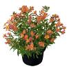 Alstroemeria Garden Summer Relieve ®